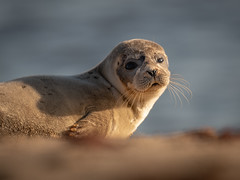 Sunlit seal (dickiebirdie68) Tags: sunrise beach seal pup sand portrait golden nature wildlife mammal posing pretty