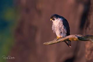Peregrine Falcon - Falco peregrinus | 2018 - 19