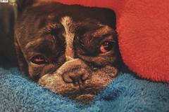 Topo (TLMELO) Tags: dog cão bulldog french francês puppy cachorro topo frances