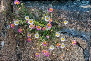 sur le chemin des douaniers ... wild flowers ...