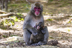 Mum & Baby, Snow Monkeys (Synghan) Tags: mum baby snowmonkey japanesemacaque macaque japanese animal ape frontview behaviour macaca photography horizontal outdoor colourimage fragility freshness nopeople foregroundfocus adjustment interesting awe wonder fulllength nihonzaru mfuscata refreshment relaxation resting head headshot monkeypark kyoto japan leisure nature natural wild wildlife 2animals canon eos80d 80d sigma 1770mm f284 dc macro lens 일본원숭이 원숭이 일본 교토 arashiyama 아라시야마