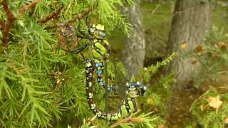 Mating Dragonflies..x