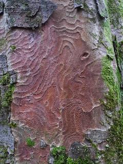 Sycamore (Acer pseudoplatanus), Swilla Glen, Ingleton
