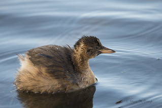 little grebe.