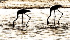 Contraluz flamencos (Ricardo Pallejá) Tags: aves flamencos delta agua landscape naturaleza nature contraluz contraste cataluña catalonia ebro rio tarragona