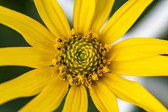 Concentric Center (Kevin Tataryn) Tags: petals garden nikon d500 tokina 100mm