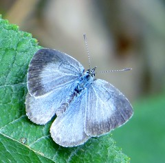 BLUE MONDAY (d p hughes) Tags: hollyblue celastrinaargiolus bugs butterflies insects nature wildlife garden outdoor bokeh depthoffield macro colour crewe cheshire