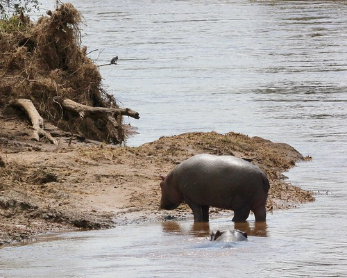 Baby hippo, mama hippo and a little birdie at the Mara river