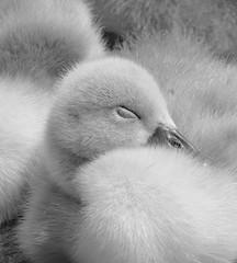 Black And White Feather Duvet! ('cosmicgirl1960' NEW CANON CAMERA) Tags: swans cygnets young juvenile chicks birds avian sleep sleeping nature llanfairfechan wales cymru gogledd north eryri snowdonia gwynedd yabbadabbadoo white grey