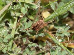 Phalangium opilio 1130982 (anniepoole2000) Tags: arachnida invertebrate opiliones herbrandston pembrokeshire wales