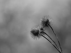 Death (MomoFotografi) Tags: plant bw zuiko bokeh macro cof034mari cof34patr challenge flickr minimalist image cof034dmnq cof034uki cof034ally
