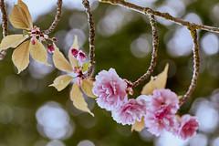 Magic Garden 7 (jdelaobra) Tags: canon6d canoneos6d tokina100mmf28macro tokinaatxpro macrofotografía macrophotography macro bokeh aranjuez jardíndelpríncipe jardíndelpríncipearanjuez jardín garden pink rosa green verde primavera spring blossom flor flower floración light luz