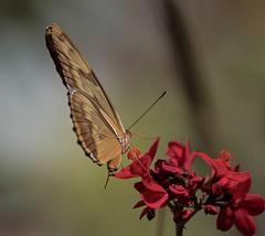 Rainy Day Orange (ACEZandEIGHTZ) Tags: dryas iulia orange flowers nikon d3200 flying wings naturethroughthelens coth coth5 sunray5