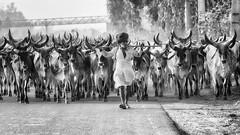 Street Punjab (daniele romagnoli - Tanks for 25 million views) Tags: nikon d810 romagnolidaniele mandria rabari herd mucche cows india panjab blackandwhite street herdsman animali animals strada road