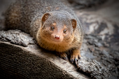 Little Cutie (helenehoffman) Tags: helogaleparvula sandiegozoo dwarfmongoose commondwarfmongoose conservationstatusleastconcern carnivore mammal animal