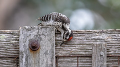 Nuttall's Woodpecker (Bob Gunderson) Tags: birds california fortmason northerncalifornia nuttallswoodpecker picoidesnuttalli sanfrancisco woodpeckers