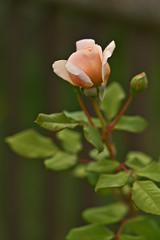 Rose (pstenzel71) Tags: blumen natur pflanzen rose rosa darktable flower bokeh
