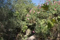 Ψίνθος (Psinthos.Net) Tags: ψίνθοσ psinthos valley κοιλάδα κοιλάδαψίνθου κοιλάδαψίνθοσ psinthosvalley nature countryside φύση εξοχή ρυάκι rivulet path paved μονοπάτι λιθόστρωτο πέτρεσ βράχια βράχοι rocks rock olivetree oliveleaves φύλλαελιάσ ελιά ελαιόδεντρο ρόζπικροδάφνη πικροδάφνη oleander pinkoleander leaves φύλλα καλάμια reeds pinkblossoms blossoms άνθη ρόζάνθη βάτοσ bramble χόρτα greens πρασινάδα greenery πεσμέναφύλλα fallenleaves autumnleaves φθινοπωρινάφύλλα φύλλαφθινοπώρου light shadow φώσ σκιά φώσήλιου φώσηλίου sunlight sunrays αχτίνεσήλιου σεπτέμβρησ σεπτέμβριοσ φθινόπωρο