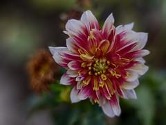 Multifaceted (BeMo52) Tags: blüten blumen dahlia dahlien flora flowers georginen korbblütler macro makro natur nature perennial pflanzen plants pentacon50mmf18 dahlie