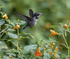 Ruby-throated Hummingbird (Archilochus colubris) (mesquakie8) Tags: bird hummingbird flyingorsittingonplants periodicallyflashingitsgorget juvenilemale rubythroatedhummingbird archilochuscolubris rthu dixonwaterfowlrefugehennepinhopperlakes putnamcounty illinois 1354