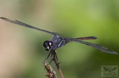Orthemis sp. ( BlezSP) Tags: odonata tropical neotropical rainforest peru libellulidae madrededios bocapariamanu faunaforever