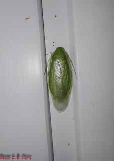 Panchlora cf. nivea - Cuban Cockroach / Green Banana Cockroach / Barata-Verde-da-Banana (Linnaeus, 1758)