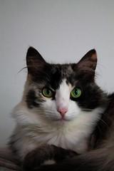 Culpa (Hirochiyo) Tags: cat kitty kat katten turkishvan photography feline felinephotography animals