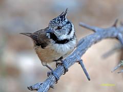 Herrerillo capuchino  (Lophophanes cristatus) (19) (eb3alfmiguel) Tags: aves pájaros passeriformes paridae herrerillo capuchino lophophanes cristatus