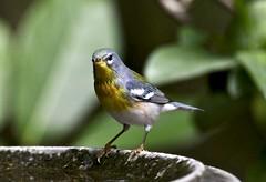 Parula (schreckpeter45) Tags: bird birding warbler parula parulawarbler birdingphotography songbird