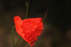 *** (pszcz9) Tags: przyroda nature natura naturaleza zbliżenie closeup bokeh kwiat flower mak poppy kropla raindrop beautifulearth sony a77