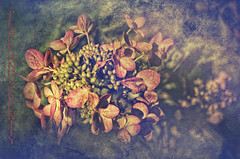 Peace and Serenity (Paul B0udreau) Tags: hydrangea lacecap layer canada d5100 ontario niagara nikon nikond5100 paulboudreauphotography texture text leaves red flowers nikkor50mm18 photoshop