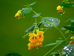 A sad farewell..... (Hayseed52) Tags: goodbye farewell sad jewelweed flower raindrops green rain