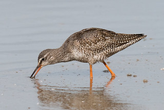 Spotted Redshank (juvenile) Aug 2018