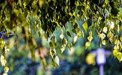 18-08-19 nah blatt grün birk bok sonauf  _dsc0073-1 (ulrich kracke (many thanks for more than 1 Mill vi) Tags: birke bokeh kontrast n4 nah sonnenaufgang