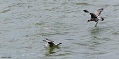 Gulls J78A0863 (M0JRA) Tags: gulls birds flight flying wildlife rats walks gardens parks fields trees lakes ponds ducks swans rspb