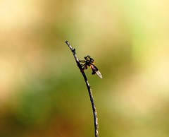 Robber fly & the morning light (forest venkat) Tags: insect bee bugs bug wood woods bokeh macro sky light outdoor outside outstanding camera page beautiful day wild weekend wilderness wildlife