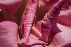 Rosy (Modkuse) Tags: rose flower garden rosegarden nikon nikondslr nikond700 nikon105mmf28macronikkor 105mmf28nikkormacro 105mm nikkor105mmf28macro nikon105mmf28macro macrophotography