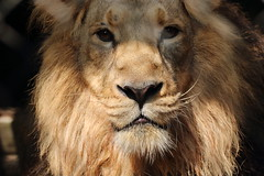 Asiatic Lion (charliejb) Tags: bristol bristolzoogardens bristolzoo wildlife mammal 2018 lion mane male whiskers eyes muzzle face clifton