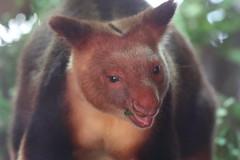 Goodfellow's Tree Kangaroo (charliejb) Tags: bristol bristolzoo bristolzoogardens 2018 wildlife conservation goodfellowstreekangaroo treekangaroo kangaroo goodfellows mammal