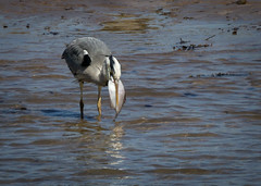 Heron with lunch (Rons Images) Tags: heron ornithology birds fish ray food lunch rontoothill canoneos7d canonef100400mmf4556lisiiusm