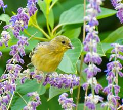 Lavender Lunch. (Omygodtom) Tags: wildlife goldfinch nature lavender yellow beauty nikon70300mmvrlens nikon d7100 dof 7dwf flora flickriver animal