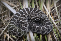 Eastern Massasauga Rattlesnake (Nick Scobel) Tags: eastern massasauga rattlesnake rattler sistrurus catenatus michigan venomous snake baby neonate newborn juvenikle