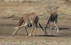 AwkwardGiraffes (Wolfram Burner) Tags: kruger sa southafrica wildlife conservation natural history naturalhistory wolfram burner africa