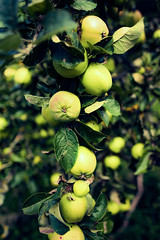 Teesdale (tonguedevil) Tags: landscape outdoor view garden fruit apples elderberries hedgerow colour teesdale cotherstone leaves tree shrubs