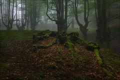 Rincones del bosque (Jose Cantorna) Tags: bosque hayedo niebla mist fog nikon d610 ambiente atmósfera árbol tree hojas