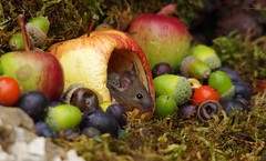 wild garden mouse inside a apple (6) (Simon Dell Photography) Tags: wild garden house mouse nature animal cute funny fun moss covered log pile acorns nuts berries berrys fuit apple high detail rodent wildlife eye ears door home sheffield ul old english country s12 simon dell photography