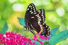 Black Swallowtail (Jim Atkins Sr) Tags: blackswallowtail blackswallowtailbutterfly butterfly olympuspenepm2 olympus fairfieldharbour northcarolina closeup macro