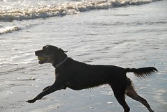 Our Bonny Lass - At Full Stretch on Bexhill Beach! (antonychammond (away 4 a month)) Tags: bonny bonnylass dog rescuedog bexhillonsea bexhillbeach sea light wwwpupsneedinghomescouk thegalaxy contactgroups