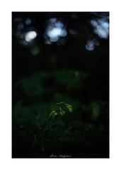 2018/8/11 - 6/24 photo by shin ikegami. - SONY ILCE‑7M2 / 七工匠  7artisans 50mm f1.1 (shin ikegami) Tags: 紫陽花 flower 花 井の頭公園 吉祥寺 summer 夏 asia sony ilce7m2 sonyilce7m2 a7ii 50mm 七工匠 7artisans 7artisans50mmf11 tokyo photo photographer 単焦点 iso800 ndfilter light shadow 自然 nature 玉ボケ bokeh depthoffield naturephotography art photography japan earth