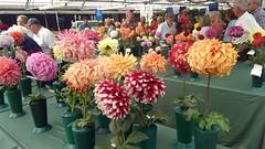 Stealing the Show   Denver, CO   2018.09.08 (Kaemattson) Tags: dahlia flower flowershow paulinos denver co colorado frontrange bulb oldfashioned flickrfriday